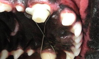 root canal therapy to treat luxated teeth