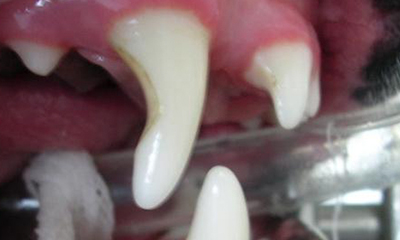 weakened and worn canine tooth