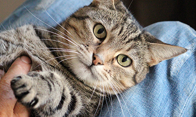 cat kitten person lap